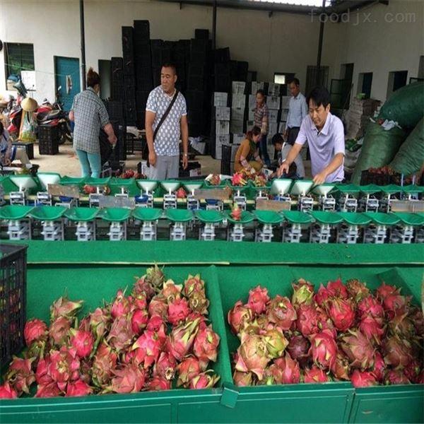 火龙果选果机 不伤鳞片 福建哪里有卖的