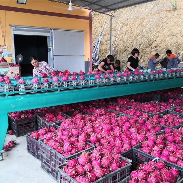 广西红心火龙果选果机 提高产品质量