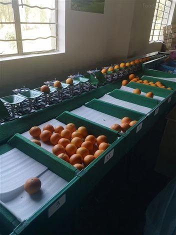 浙江象山红美人分级设备  柑橘分拣机