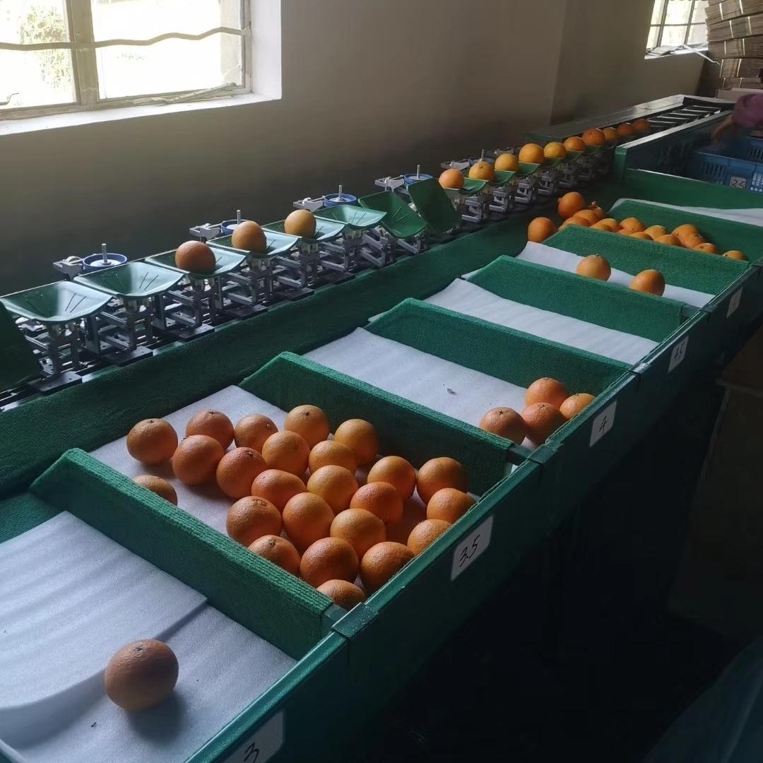 凉山雷波脐橙选果机  自动称重分级设备